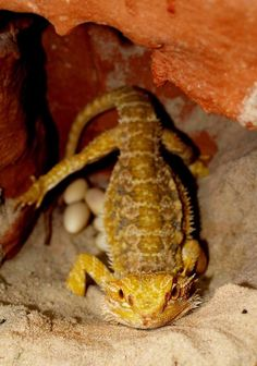 Bearded dragons, even those that are housed alone, can lay eggs. Find out if the eggs are fertile and what to do with them. Bearded Dragon Tank Setup, Bearded Dragon Lighting, Bearded Dragon Enclosure, Bearded Dragon Funny, Bearded Dragon Habitat, Bearded Dragon Diet, Bearded Dragon Substrate, Dragon Facts, Most Beautiful Animals