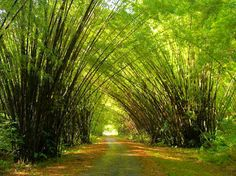 Bamboo cathedral...