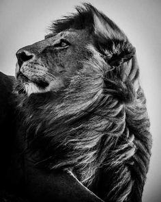 Lion dans le vent : 20 portraits fascinants de la faune africaine - Linternaute