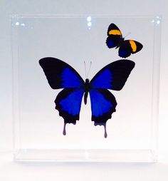 A personal favorite from my Etsy shop https://www.etsy.com/listing/232225230/papilio-ulysses-ulysses-from-indonesia