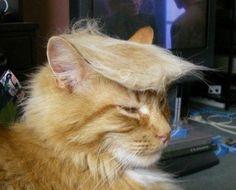 【海外で大流行中】 ドナルド・トランプ猫の画像集 【ヅラ猫