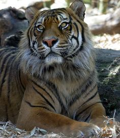 Male Tigers sexual maturity occurs at approximately 4 to 5 years of age.