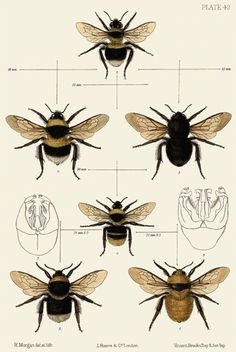 bees ; bee scientific illustration ; insects ; bugs