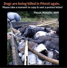 *** ONE OF THESE VICTIMS IS STILL ALIVE, HE IS HOLDING HIS HEAD UP, HAS A FLY IN ONE OF HIS OPEN EYES...OMG, IMAGINE WHATS GOING THROUGH HIS BLESSED SOUL@MIND **PLEASE, HELP US TO STOP ANY INITIATIVE OF MASS KILLING THE DOGS IN PITESTI! CLICK ON WEBSITE AND SEND PROTEST LETTER PLEASE !!
