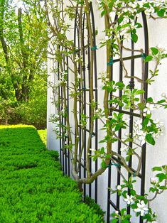 Espaliered fruit trees: prefect for small yards, shows off blossoms & produces edible fruit.