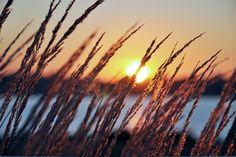 #perfekt morgon, #Tidigt på morgonen, #belysning, #soluppgång, #öron, #solen, #gryning, #flod, #gräs, #natur, #växter