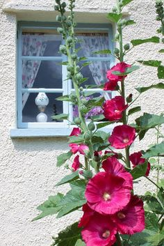 Hollyhocks by the guest bedroom.