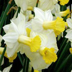 Narcissus 'ARA' - (Miniature Daffodils)