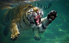 Tiger v shark? My money's on the tiger...  Picture: Mukul Soman / Barcroft Media