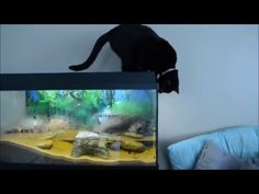 The Ultimate Cat  Entertainment System. Fivel and Soteline loves the fish tank. They spend a lot of time just looking at the fish. Fivel and Soteline are both trying to get into the fish, it´s especially our mudskipper Norbert they want. I do not think they want to play :P