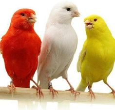 71 Ideas De Canarios Canarios Aves Canario Ave