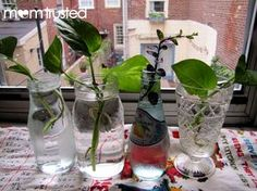Watch it Grow: Stem Cutting How-To To Multiply Your Plants Great idea for a gardening activity and to recycle pretty jars. Ivy Plants, Garden Plants, House Plants, Inside Plants, Organic Gardening, Gardening Tips, Plant Science, Science Fair, Preschool Garden