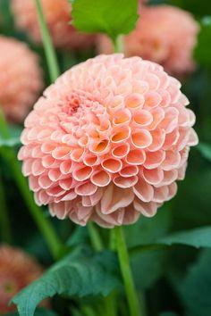 Beautiful peach Dahlia against a lush green backdrop. Cut Flower Garden, Flower Farm, Flower Pots, Peach Flowers, Exotic Flowers, Beautiful Flowers, Dahlia Flowers, Gladiolus, Belleza Natural
