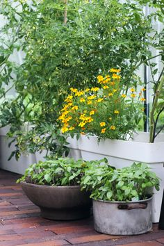 Herbs and flowers love the warmth of the greenhouse. Cuttings, Propagation, Flowers Garden, Basil, Home And Garden, Herbs, Mini, Kitchen, Plants