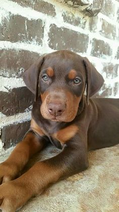 """Click visit site and Check out Best """"Dobermann"""" Shirts. This website is top-notch. Tip: You can search """"your name"""" or """"your favorite shirts"""" at search bar on the top. #dobermanpuppy"""