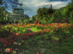 Garden of roses in Bucharest.