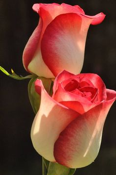 The Stuff Makes Me Happy: The 20 Most Beautiful Flowers In The World - Flowers - Blumen Most Beautiful Flowers, Pretty Flowers, Happy Flowers, Beautiful Beautiful, Beautiful Pictures, Unique Roses, Heart Pictures, Colorful Roses, Black Flowers