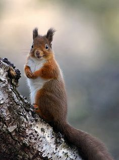 Red Squirrel with Happy Face (by Margaret J Walker) :)