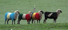 New Zealand sheep, ready for the rugby season!