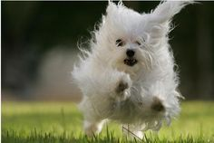 Google Image Result for http://thecoolpuppy.com/webimages/articles-Grooming-your-Maltese-Toy-Dog.jpg