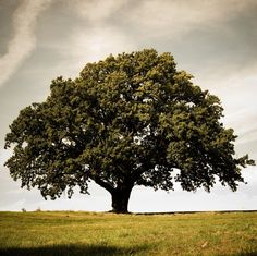 Large Oak Trees, like the one in my parents yard, it will always remind me of home <3