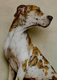 Bluetick Coonhound Dog Breed Information and Pictures