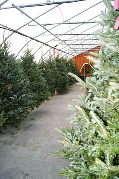 Christmas tree greenhouse