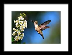 """Sold a framed print of """"Just Looking"""" hummingbird thanks to a collector from Saluda, SC!   http://rollosphotos.com/saleannouncement.html?id=27c5471364e43a6094bd0f68d255627c"""