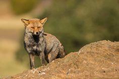 https://flic.kr/p/SvcVVJ | Master fox, the survivor | jcfajardophotography.com/  En muchos muladares donde se les aporta comida a los buitres, ya sea con fines fotográficos o simplemente de aprovechamiento de los desechos de mataderos o muerte de ganado, uno de los habituales son los zorros. Animales muy adaptables a todo tipo de circunstancias, en la que muchas veces llegan a vivir muy cerca de los humanos. Estos Zorros, o como Félix decía Maese raposo, acaban sufriendo ciertos ataques de…