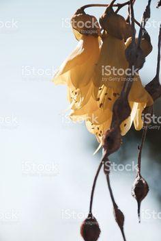 New Zealand Native Kowhai Bloom, Spring royalty-free stock photo