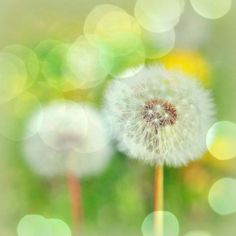 Make a wish and blow....A weed that can be a pest to some is a treasure to others.....Dandelion