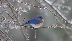 https://lastmilephotography.files.wordpress.com/2015/03/bluebird21_4.jpg