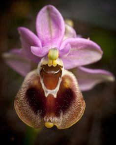 Ophrys tenthredinifera - Commonly called the Sawfly-orchid. It is a native of the Mediterranean region, by macropoulos, via Flickr