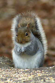 Woodland Creatures, Cute Creatures, Beautiful Creatures, Animals Beautiful, Cute Squirrel, Baby Squirrel, Squirrels, Nature Animals, Baby Animals