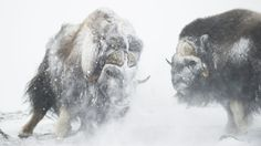 Musk Oxen bulls show their strength during a blizzard in the Dovrefjell national park, Norway. Photograph: Roy Mangersnes/Rex