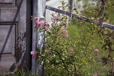 Furtka shabby chic stary dom róże