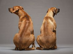 """""""Listen, you were being a complete dick at the dog park. I think We need to reconsider where our relationship is headed"""" - Rhodesian Ridgebacks"""