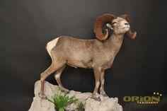 Taxidermy, Sheep, Goats, Animals, Animales, Animaux, Animal, Animais, Goat