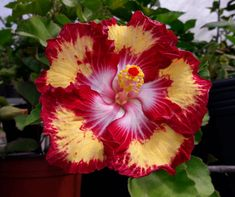 Hibiscus 'Caribbean Raging Bee' - a stunning flower with excellent form and markings.