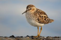 Least Sandpiper on Stone. Bakers Brook Shoreline. Gros Morne National Park. RONiN photo: When Everything Comes Together!