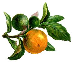 Vintage Image - Branch with Oranges - The Graphics Fairy