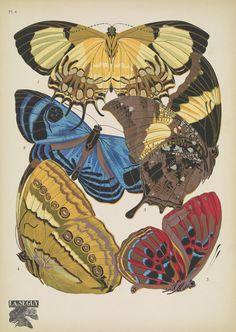 https://flic.kr/p/DivZhE   n12_w1150   Papillons;. Paris,Tolmer[ca. 1925]. biodiversitylibrary.org/page/48852985