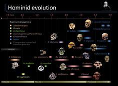 A general timeline of hominid evolution based on paleoanthropological fossil evidence.