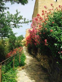 Châteauneuf de pape  石垣から、毎年たくましく生える野草