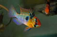 1000 Images About Dwarf Cichlids On Pinterest Cichlids