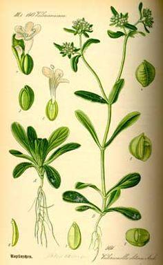 Valerianella locusta   (Мотовилка-бг, Corn Salad, Lewiston cornsalad, Feldsalat)