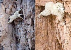 Incredible Mountain Goats Climbing Mountains