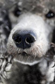 .Poodle nose