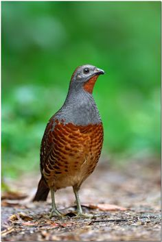 Chinese Bamboo Partridge - Stop Hushan Dam !: Fairy Pitta and other Huben Birds Gallery