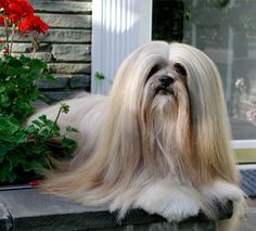 Lhasa Apso   image via westminster kennel club.org